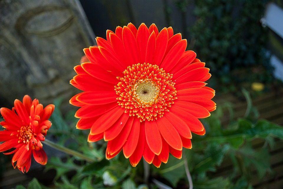 flores-rojas-gerberas.jpg