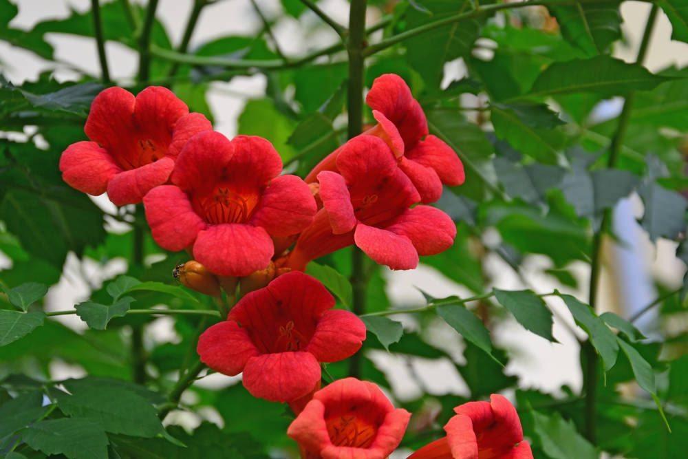flores-rojas-jazmin-de-chile.jpg