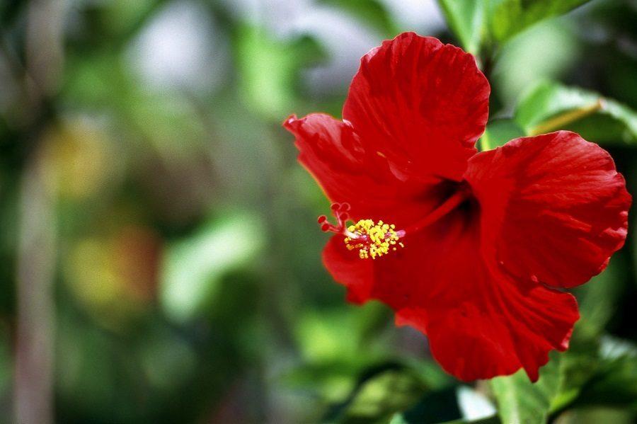 flores-rojas-rosas-chinas.jpg