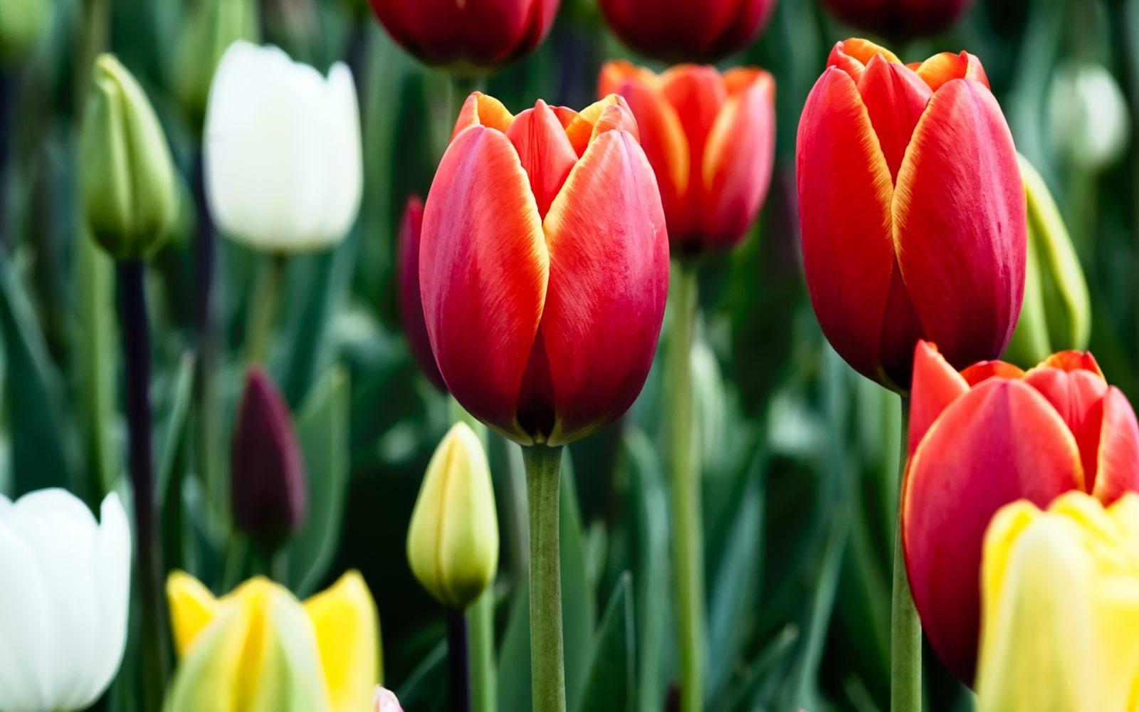 flores-rojas-tulipanes.jpg
