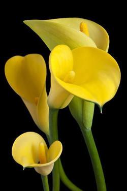 fotos de flores amarillas