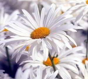 fotos de flores blancas hermosas