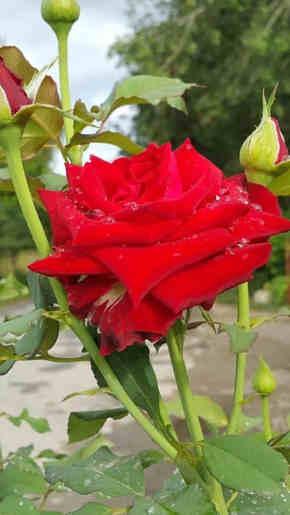 fotos de rosas rojas hermosas