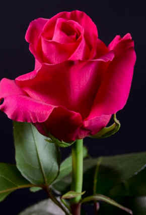 fotos de rosas rojas naturales