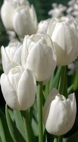 fotos tulipanes