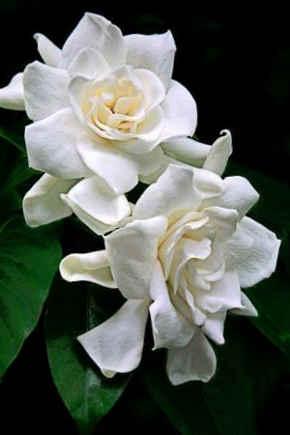 gardenia planta
