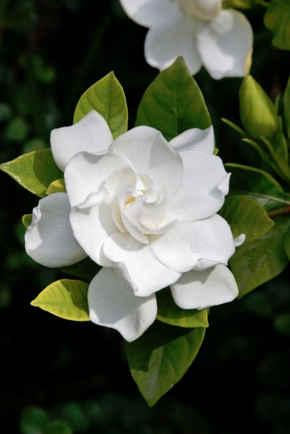 gardenia significado