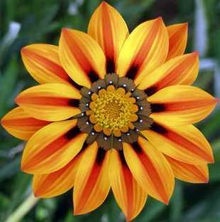 gazania flores mas hermosas del mundo