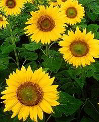 girasol imagenes de flores inflorescentes
