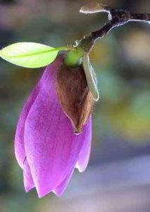 imagenes de plantas y flores de magnolias