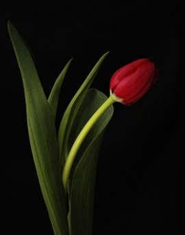 imagen de tulipan