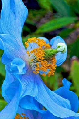 imagen flor azul