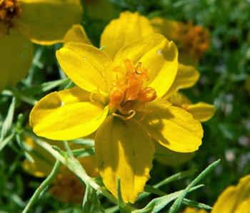 imagenes de flores amarillas zinnia