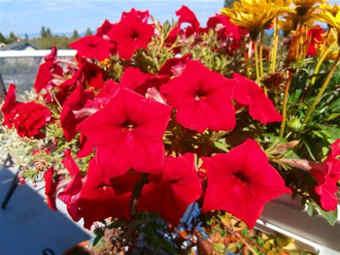 imagenes de flores rojas