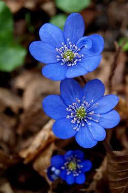 imagenes flores azules
