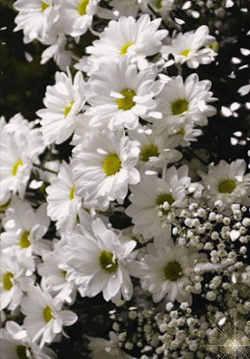 imangen flor blanca