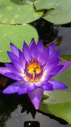 imganes de flor loto morada
