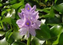 jacinto de agua usos
