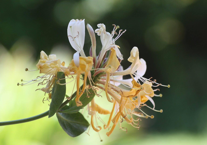 Flores madreselvas - La madreselva ...