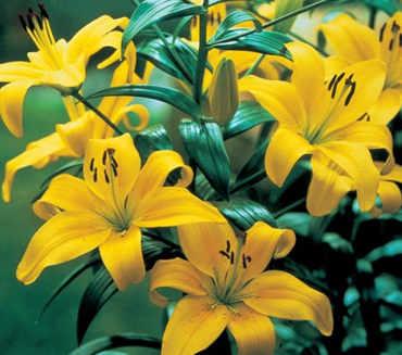 mombres de flores amarillas