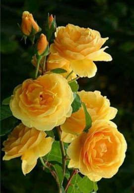 nombres de flores amarillas