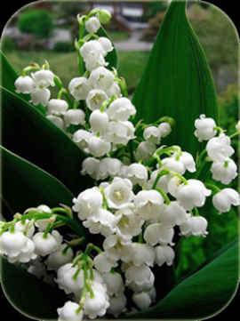 nombres de flores blancas