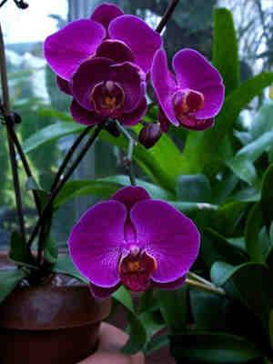 Im genes de orqu deas y fotos for Cuidado de las orquideas moradas