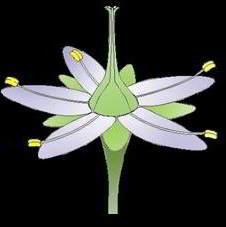 partes de flores imagenes caliz