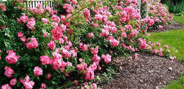 perfume-de-las-rosas.jpg