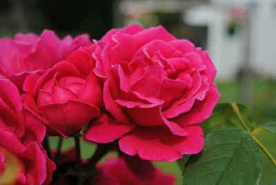plantar rosas en macetas 3
