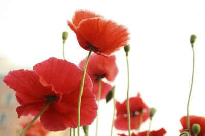 plantas con flores rojas amapola