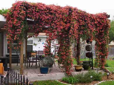 Como elegir las mejores plantas y flores para p rgolas - Plantas para pergolas ...