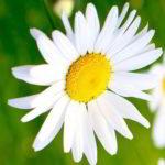 preciosas margaritas en imagenes de flores