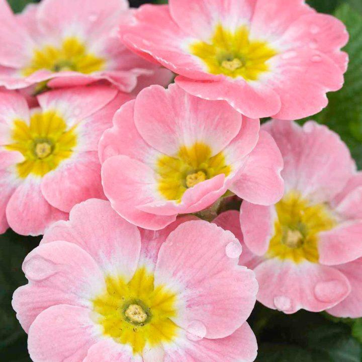 primulas-rosas.jpg