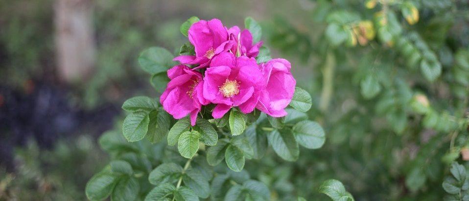 rosa-mosqueta.jpg