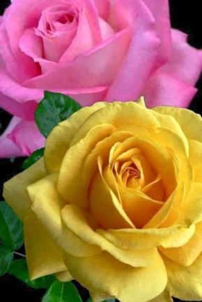 rosas amarillas bariloche