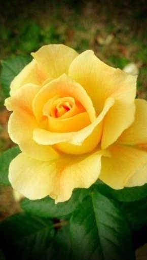 rosas amarillas letra