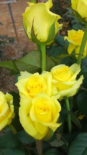 rosas amarillas y rojas