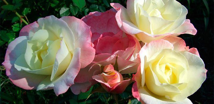 rosas-antiguas.jpg