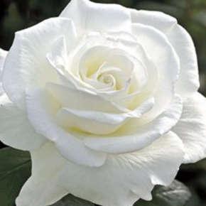 rosas blancas imagenes
