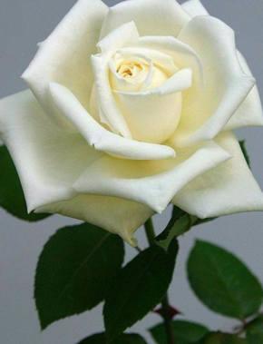 rosas blancas letra