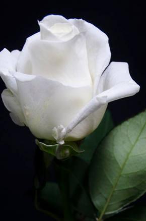 Rosas blancas - Significado rosas blancas ...