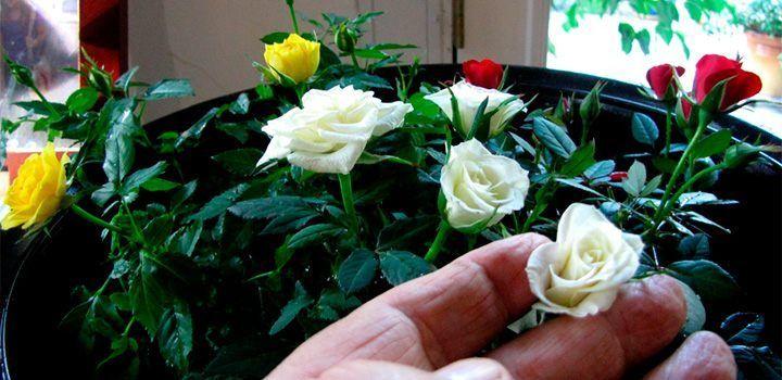 rosas-en-miniatura.jpg