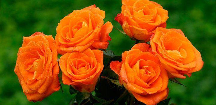 rosas-naranjas.jpg