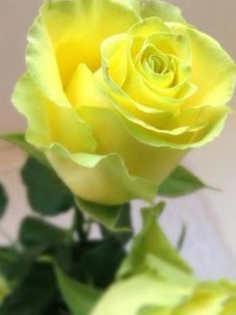 rosas rojas pelicula