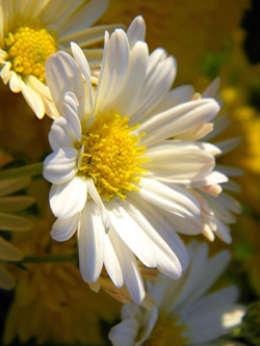 tipos de flores blancas