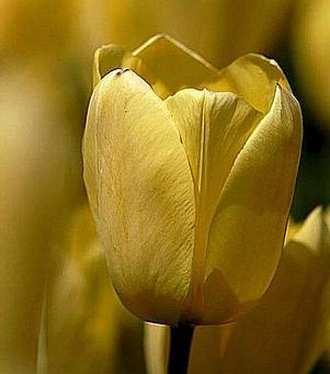 tulipán amarillo precioso