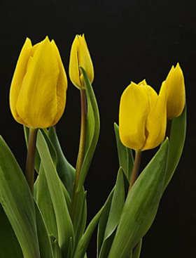 tulipan foto