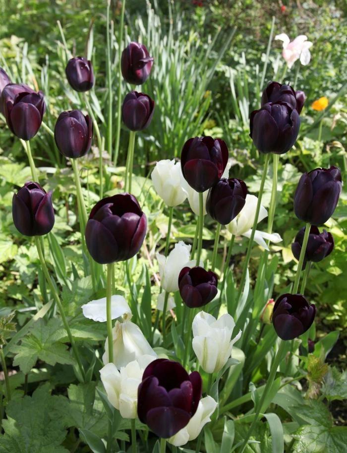 tulipanes-negros.jpg