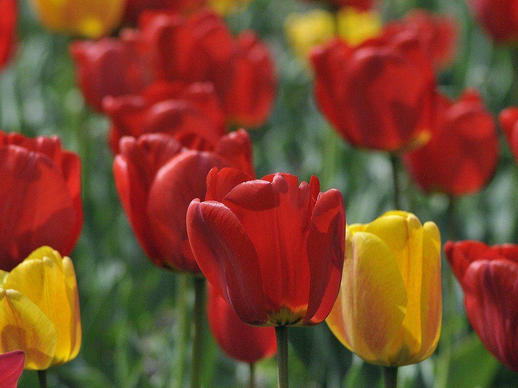 tulipanes-rojos-y-amarillos.jpg
